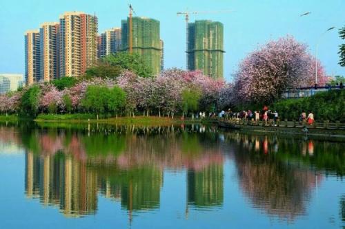 柳州相约紫荆花季,欢度