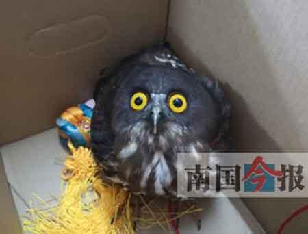 国家二级保护动物鹰鸮闯进写字楼 撞上玻璃摔伤了